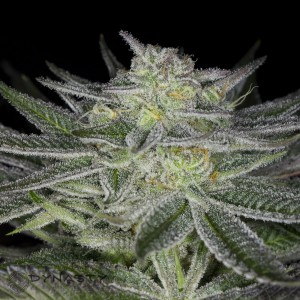 Huckleberry kush 2015 (1 of 1)